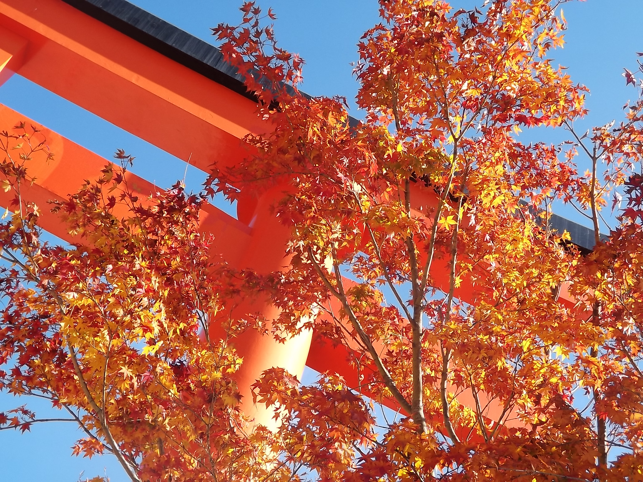 Momiji and red torii at Fushimi Inari