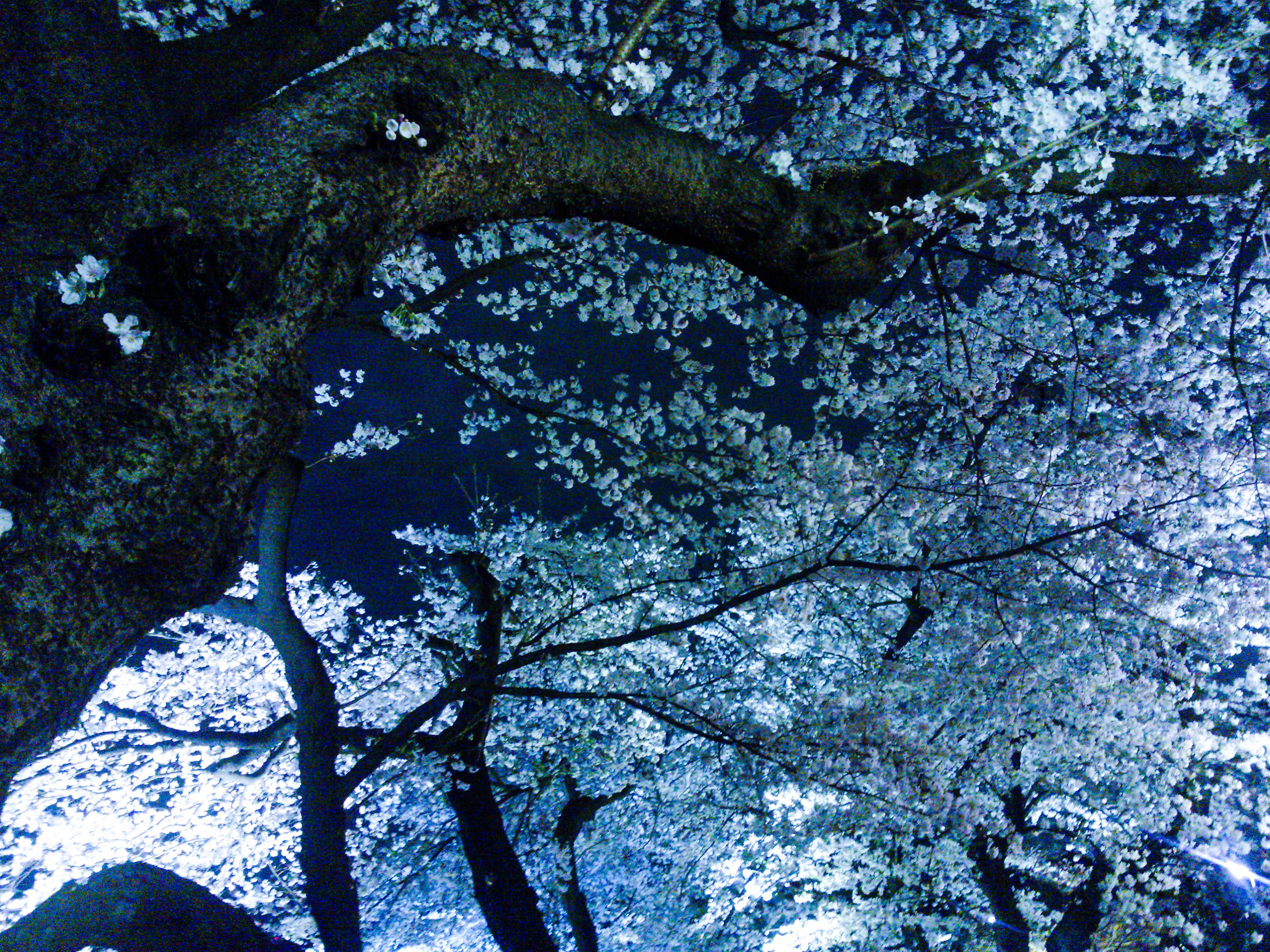 Sakura and impermanence